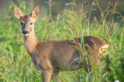Young roe deer in a field